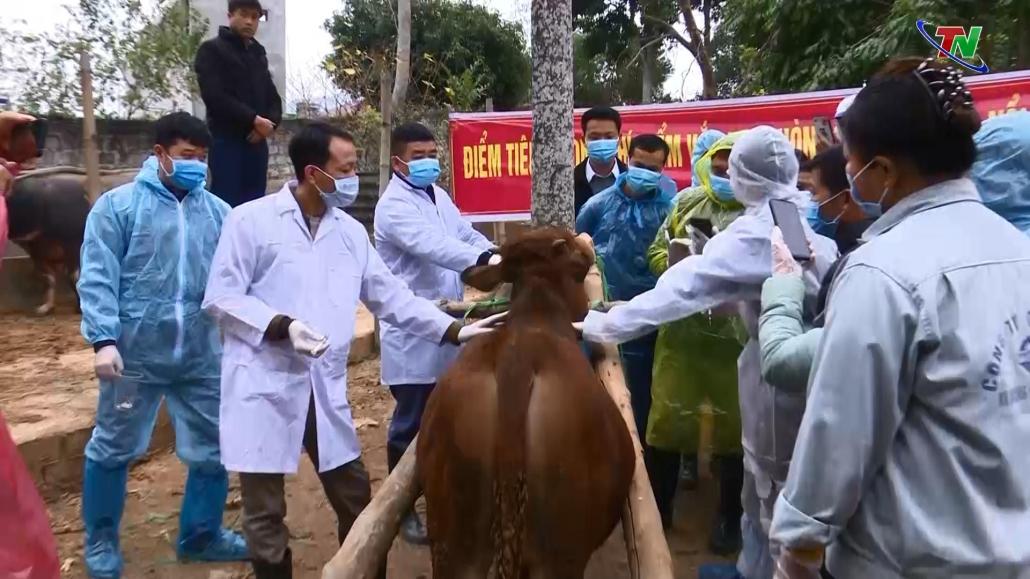Tích cực phòng, chống dịch viêm da nổi cục ở trâu, bò