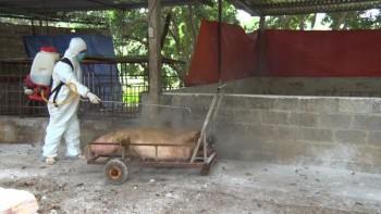 Thái Nguyên: Phát hiện dịch tả lợn châu Phi ở huyện Phú Bình