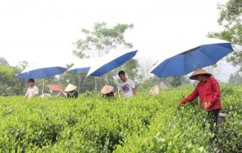 Hỗ trợ cải tạo, nâng cao năng suất, chất lượng cây chè