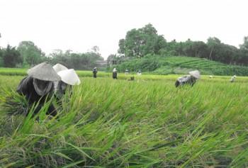 Phú Bình: Năng suất lúa vụ Xuân ước đạt 54,5 tạ/ha