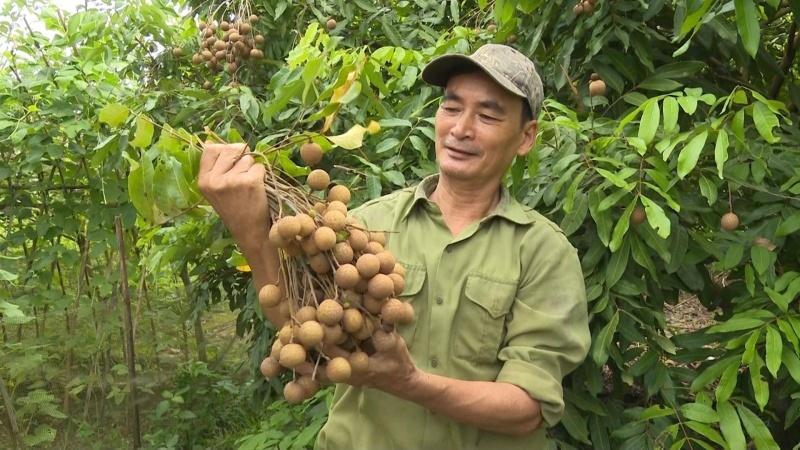 Thái Nguyên rộ mùa thu hoạch nhãn