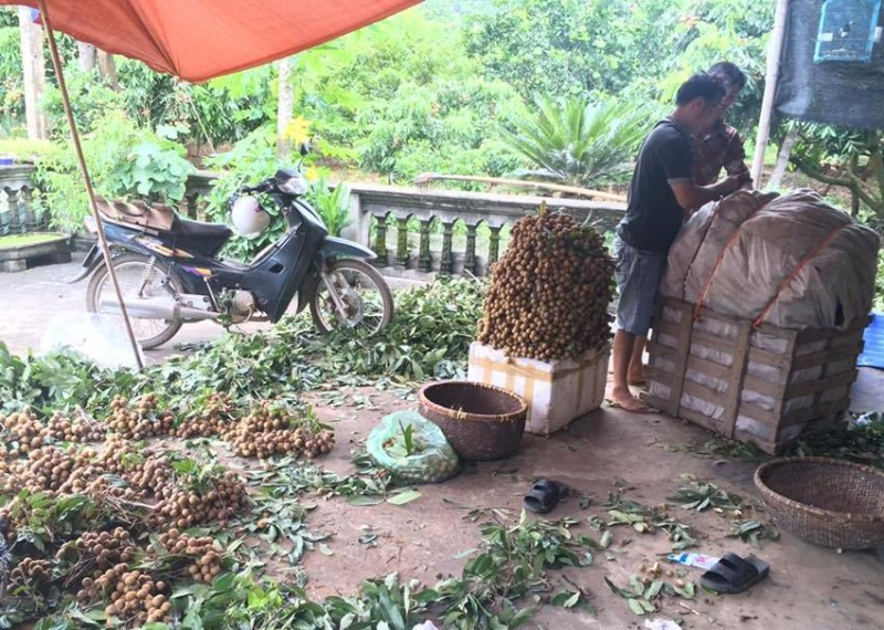 thai nguyen ro mua thu hoach nhan