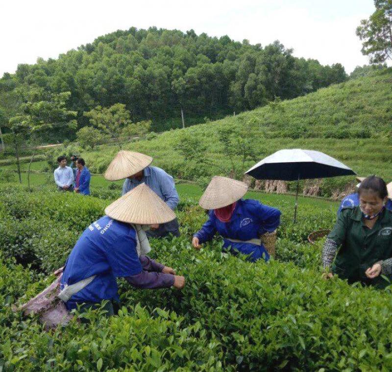 TP Thái Nguyên: Đẩy mạnh sản xuất chè ứng dụng công nghệ cao