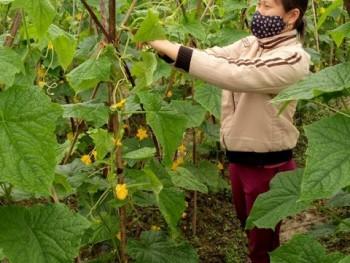 Phú Bình vào vụ thu hoạch dưa chuột trên đất ruộng