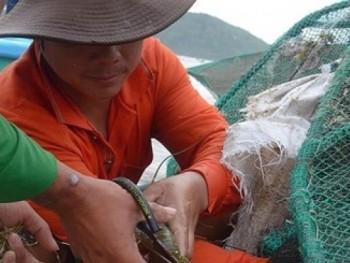 Phú Yên tìm cách phát triển bền vững nghề nuôi tôm hùm
