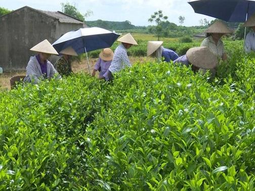 Xã Phúc Thuận, Phổ Yên: Phát huy thế mạnh cây chè