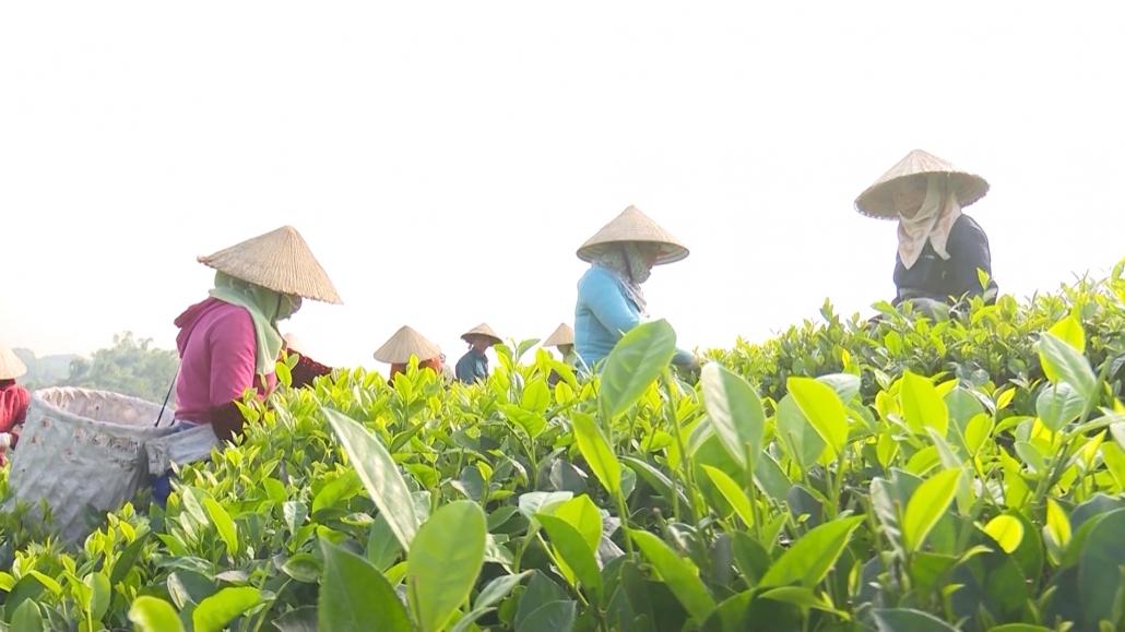 Thái Nguyên hướng tới sản xuất chè hữu cơ theo tiêu chuẩn Việt Nam