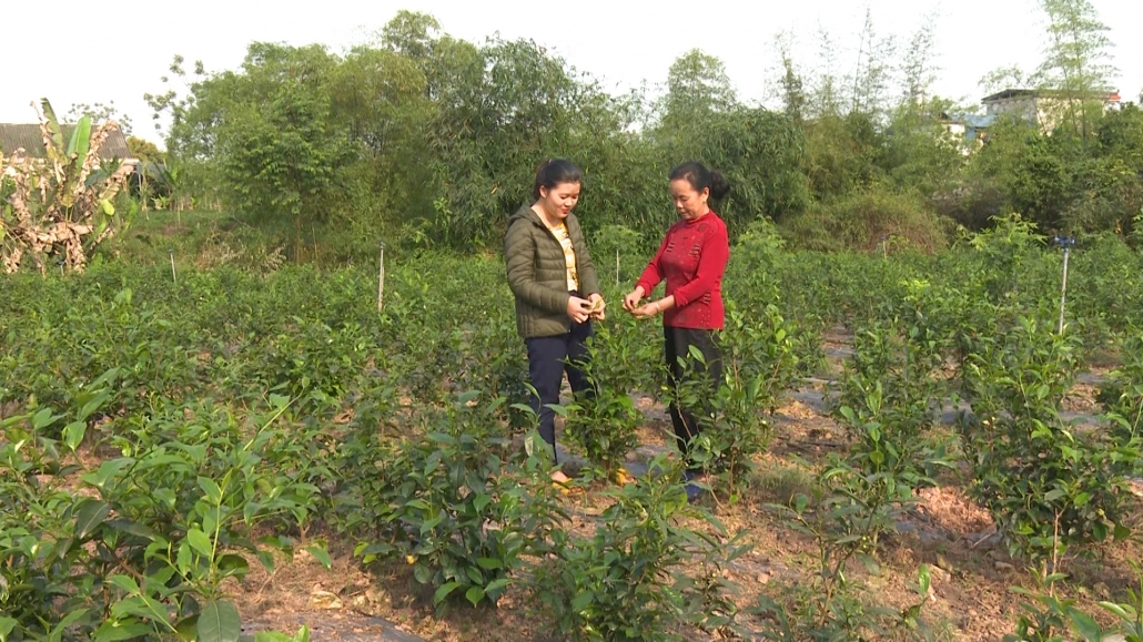 Bảo tồn và phát triển giống chè Trung du trên địa bàn tỉnh Thái Nguyên
