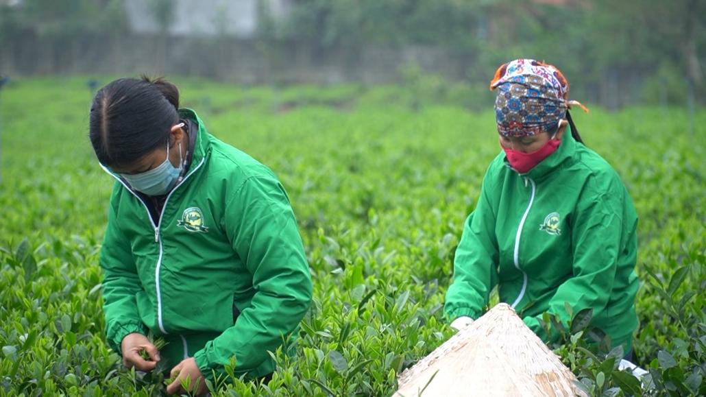 Ngành chè Thái Nguyên nỗ lực hội nhập thị trường quốc tế