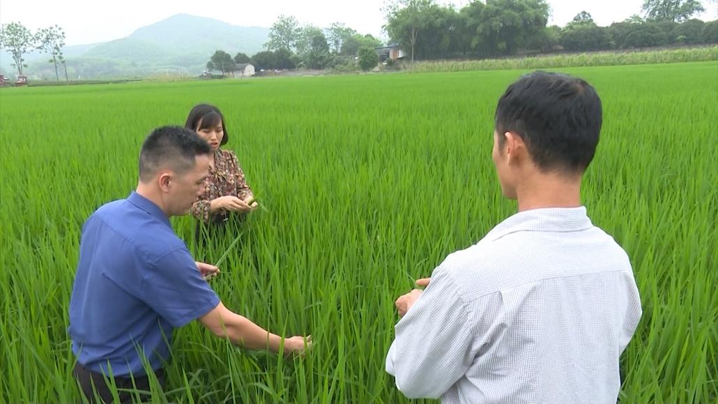 Kiểm tra tình hình sâu bệnh gây hại trên lúa