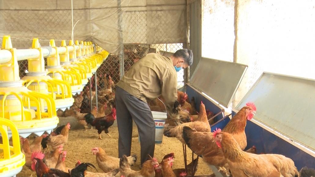 Hiệu quả từ mô hình chăn nuôi gà đồi theo hướng an toàn sinh học