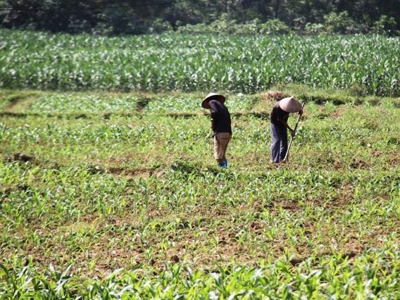 Thái Nguyên:  Gieo trồng trên 7.500ha cây màu vụ đông