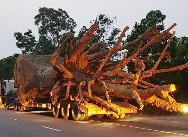 """Bắt 3 xe chở cây khủng như """"quái thú"""", phạt hơn 81 triệu đồng"""