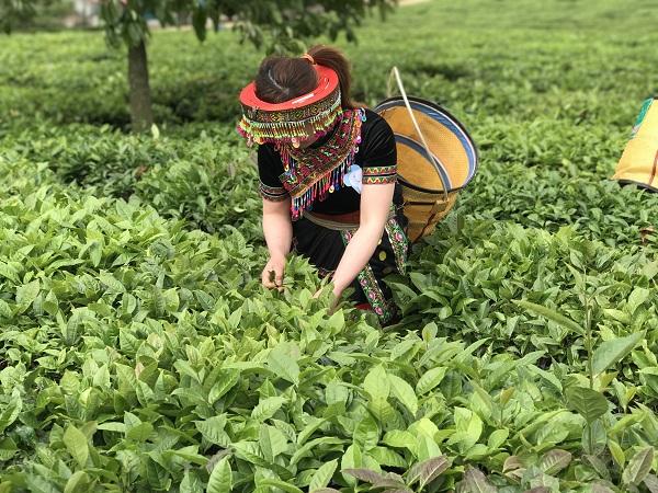 """Nhập khẩu tăng """"khủng"""", chè Việt vẫn chiếm tỷ lệ dưới 1% tại Nhật"""