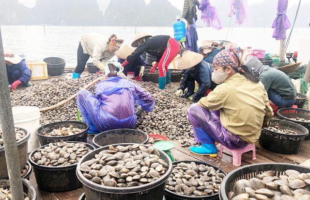 Cả làng ở Hạ Long khấm khá nhờ nuôi ngao giá toàn con to bự