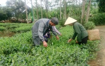 Phú Ninh thơm ngát hương chè