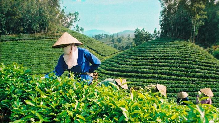 Chè Việt chưa bắt kịp thị hiếu thế giới, xuất khẩu giảm cả lượng và giá trị