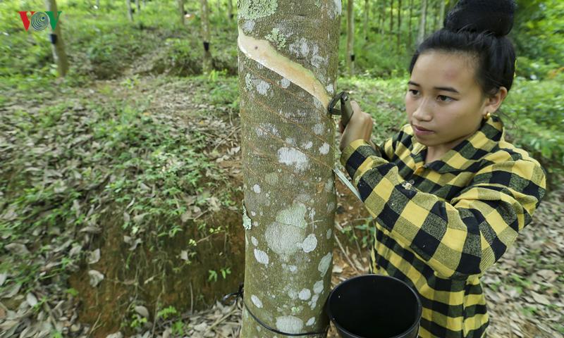 Bảo đảm quyền lợi cho người góp đất trồng cao su