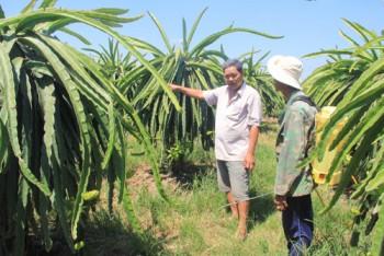 Làm giàu khác người: Cổ phần với nông dân trồng thanh long