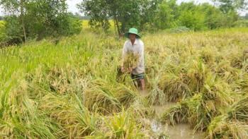 Hàng ngàn ha lúa bị đổ sạp do mưa lớn kéo dài