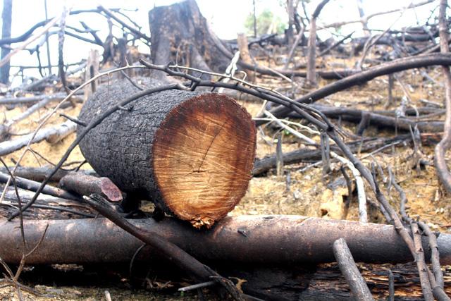 Cách chức Chủ tịch xã vì để phá rừng phòng hộ