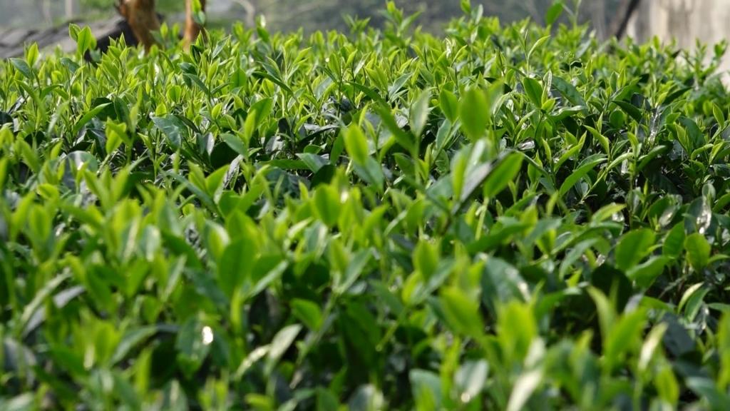 稳定发展太原省的茶树及茶品商标