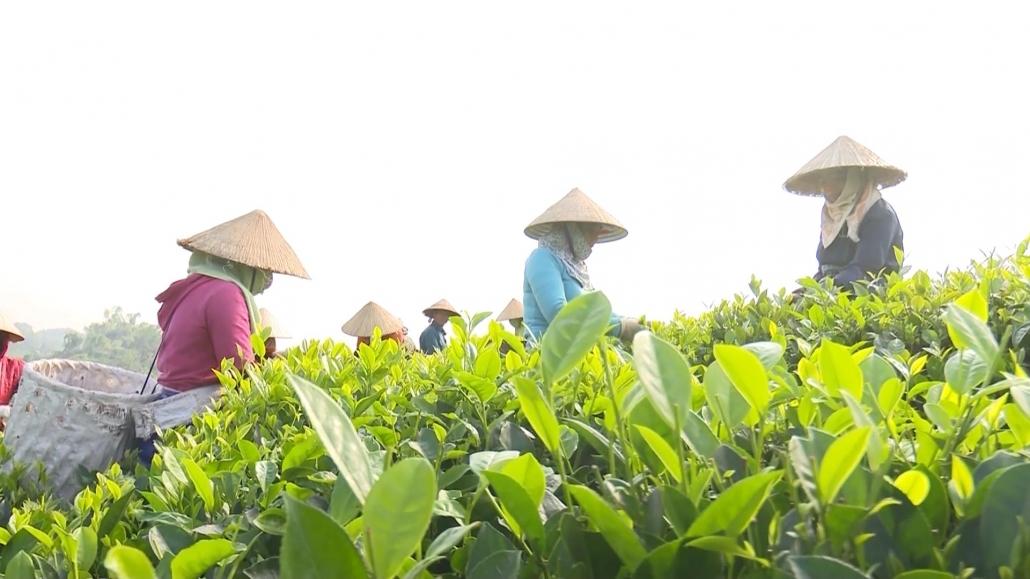 Thái Nguyên: Hướng tới sản xuất chè hữu cơ theo tiêu chuẩn Việt Nam