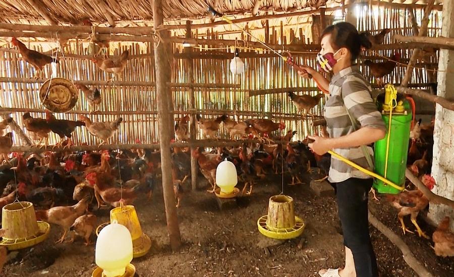 Chủ động khôi phục sản xuất chăn nuôi sau dịch bệnh