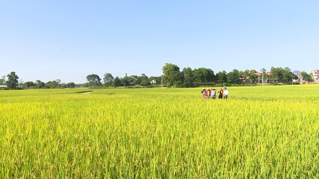 Chú trọng nâng cao chất lượng lúa gạo