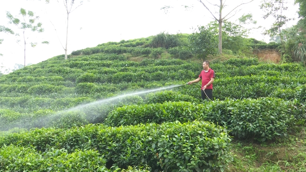 Promoting organic tea production in Thai Nguyen