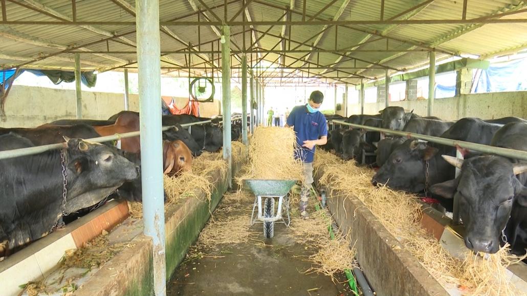 Làm giàu từ mô hình chăn nuôi bò 3B