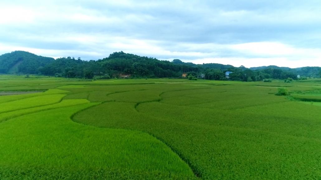 Dẻo thơm lúa nếp vải Ôn Lương