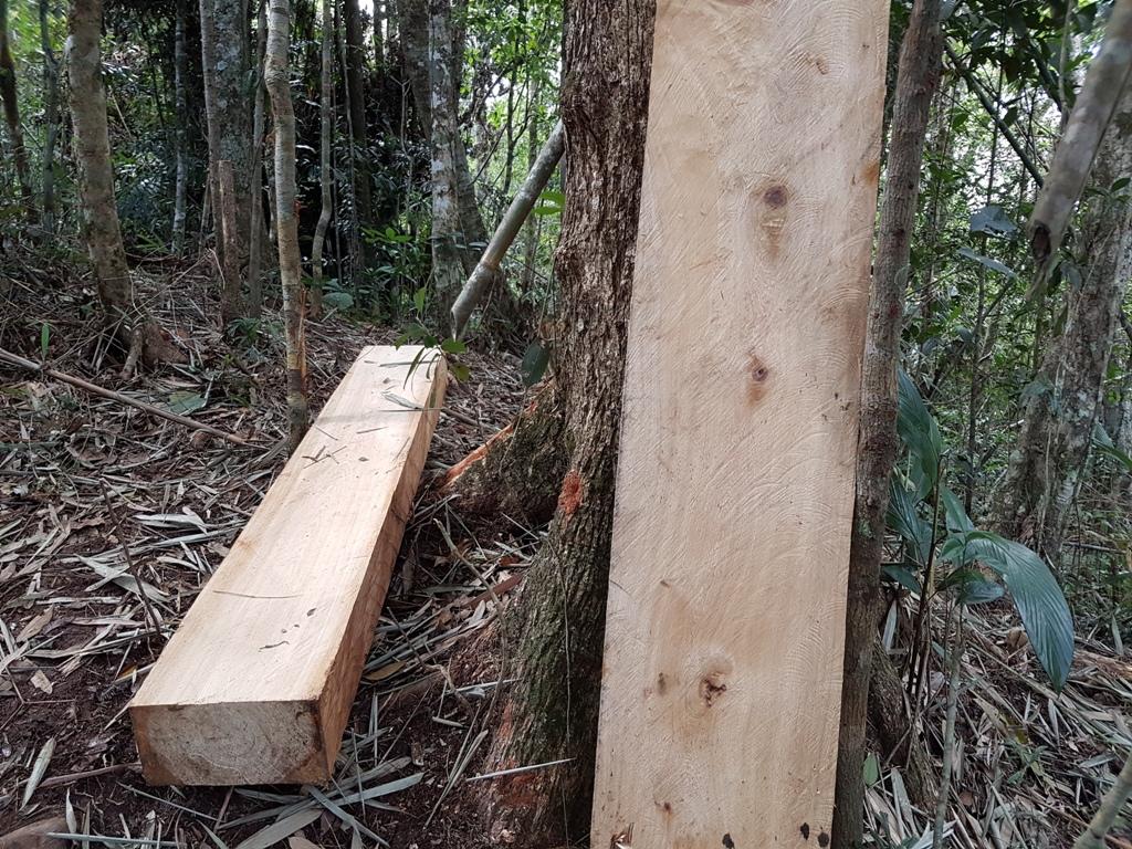Hiện trường rừng pơmu bị lâm tặc đốn hạ ở khu vực biên giới
