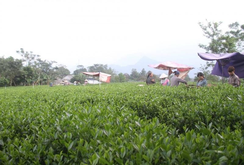 Toàn tỉnh Thái Nguyên có gần 200 làng nghề chè