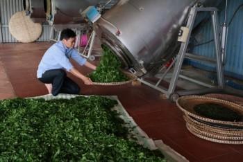 Thái Nguyên: Phát triển sản xuất chè theo hướng an toàn, nâng cao chất lượng, giá trị