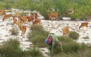 Quảng Bình: Tăng bò lai, giảm bò cóc