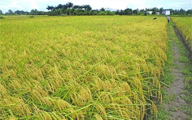 Giống lúa chủ lực cho ĐBSCL: Bộ giống lúa ST đặc sản gạo thơm