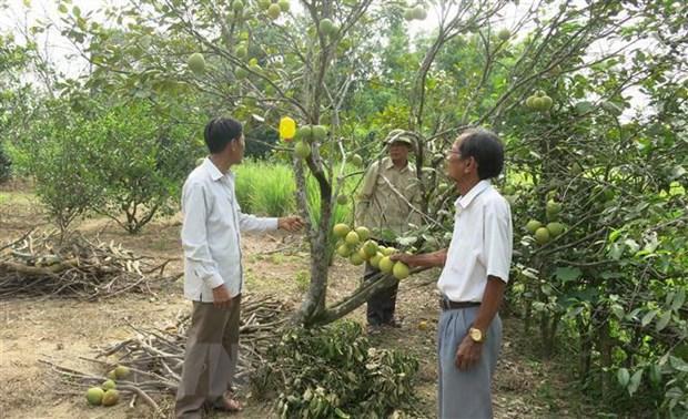 Thừa Thiên-Huế mất mùa đặc sản thanh trà do nắng nóng