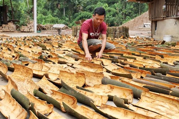 Yên Bái: Người dân huyện Văn Yên hướng tới sản xuất quế hữu cơ