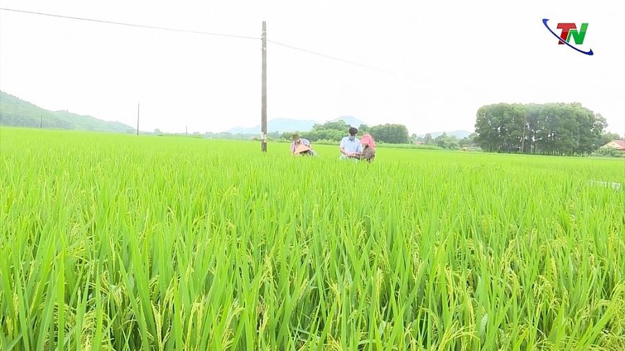 Cần kịp thời phòng, trừ sâu bệnh hại lúa mùa trung và mùa muộn