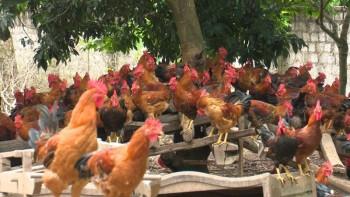 Thái Nguyên đẩy mạnh tái cơ cấu trong lĩnh vực chăn nuôi