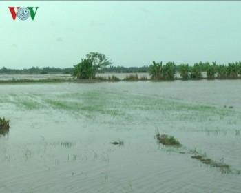 Bão số 1 gây mưa lớn, hàng nghìn ha lúa ở Bạc Liêu bị thiệt hại