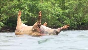 Lợn chết vứt tràn lan, nguy cơ bùng phát dịch ở Bắc Kạn