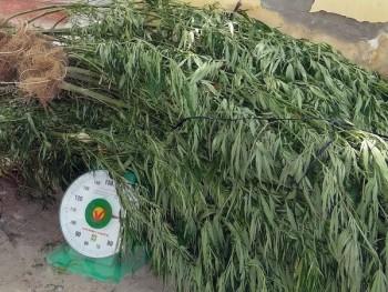 Nhổ bỏ gần 7.300 cây cần sa trồng trái phép tại Đắk Nông