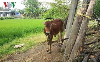 Bò chính sách được cấp cho cán bộ xã và người nhà ở Quảng Trị