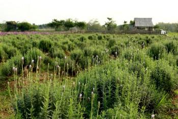 vuon hoa oai huong 1500 m2 dau tien o ha noi