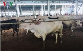 Xử phạt trang trại nuôi trâu, bò gây ô nhiễm