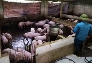 """Dịch tả lợn châu Phi """"nhảy cóc"""" ở Nghệ An, diễn biến phức tạp"""