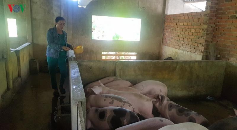 """Nông dân """"tiến thoái lưỡng nan"""" với đàn lợn nuôi ở vùng dịch"""