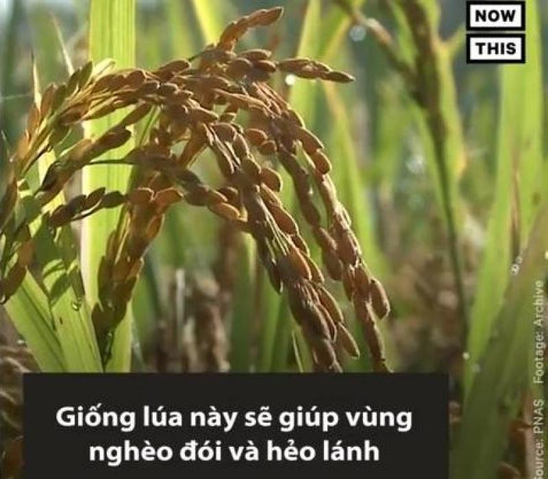 Giống lúa biến đổi gene có thể điều trị HIV